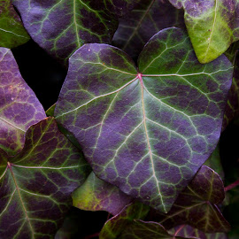 Purple Ivy by Preston Brennan - Nature Up Close Other plants ( nature, purple, plants, ivy, garden )