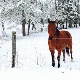 Warm cinnamon  by Gina Miller - Animals Horses