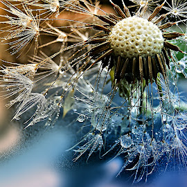 Crystal Tears At Your Face by Marija Jilek - Nature Up Close Other plants ( dandelion, nature, face, plants, seeds, head, stem crystal tears )