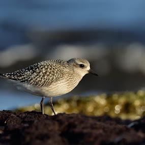 Gleams of gold by Ronnie Bergström - Animals Birds ( water, grey plover, gleams, birds )