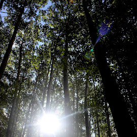 Sun through the trees in the forest by Paula Weston - Nature Up Close Trees & Bushes