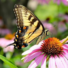Butterfly on flower. by Peter DiMarco - Uncategorized All Uncategorized ( butterfly, yellow butterfly, pink, pink flower with butterfly, flower,  )