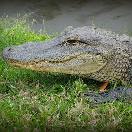 Gator by Tracy Saunier - Animals Amphibians ( louisiana, alligator, wildlife, smile, animal )