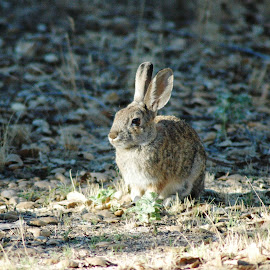 Rabbit in the morning by Jesse Thrush - Animals Other Mammals ( rabbit, nature, bunny, hare, mammal, animal )