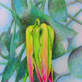 Lily Bud on Fire by Lew Davis - Drawing All Drawing ( sketch, blooms, lilies, color pencil, bloom, lew davis, drawing, blossom, blossoms, drawings, lily, sketches, flower buds, color pencil drawings, flowers, bud, flower, flowerbud )