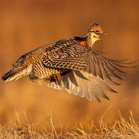 Prairie Chickens - IMG101_9145 Brian Winter.jpg