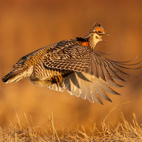 Prairie Chicken Lift Off by Tom Samuelson - Animals Birds (  )