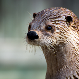 Loutre by Eric Deschenes - Animals Other Mammals ( otter, zoo, nikon, animal )