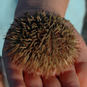 Pin Cushion Urchin