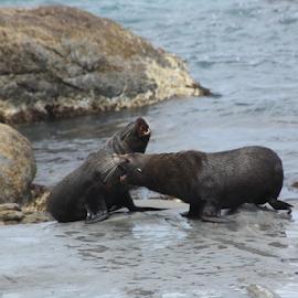 NZ Adult Fur Seals by Elayne Hand - Animals Other Mammals ( animals, fur seals, wildlife, ocean, new zealand,  )