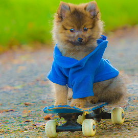 hugo the skate boarding pom mix coat by Michael Sweeney - Animals - Dogs Portraits ( animail, scotland, natural light, uk, play full, talented dog, joy, play, talent, nikond800 dog, michael m sweeney, road, skate boarding dog, hugo pom, hugo, joyfull, pom, d800, pomerainam, puppy, dog )