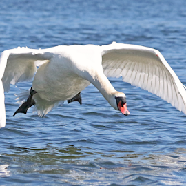 Descent by Mia Ikonen - Animals Birds ( mute swan, landing, finland, descending, powerful )