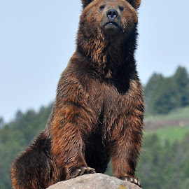 Grizzly by Dawn Hoehn Hagler - Animals Other Mammals ( grizzly, bear, montana, montana grizzly encounter, grizzly bear )
