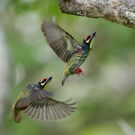 Coppersmith Barbet  by Mahi  Mahi - Animals Birds