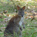 Red-necked pademelon