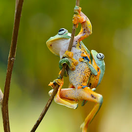 Mom and son by Ais Setiawan - Animals Amphibians ( macro photography, frog, amphibian, photography )
