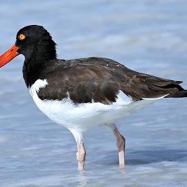 Coquina Beach 6 by Terry Saxby - Animals Birds ( usa., shore, bird, terry, florida, coquina beach, saxby, nancy )