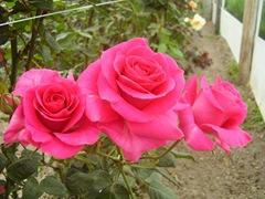 RosaFucsia
