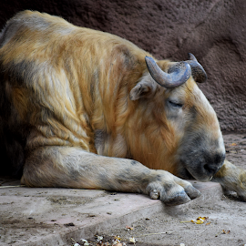 Animal At The Zoo by Lin Fauke - Animals Other ( horns, zoo, fall, steer, sleeping, bull, cattle, hoof )