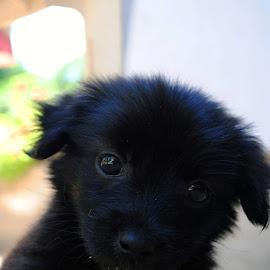 Cicmil by Marko Petrović - Animals - Dogs Puppies ( puppy, cicmil, wondering, dog, cute, small, portrait, black )