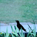 Common Raven (Crow)