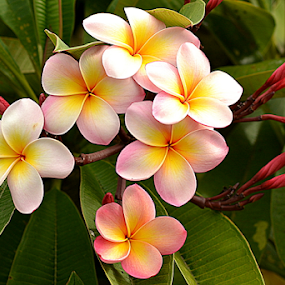 Pink Frangipani 68 by Mark Zouroudis - Flowers Flowers in the Wild