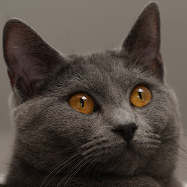 Harmonie by Serge Ostrogradsky - Animals - Cats Portraits ( cat, chartreux, chat )