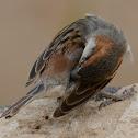 Iago sparrow(male)