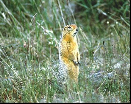 09-Arctic ground squirrel