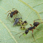 Ants tending treehoppers