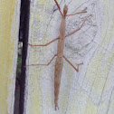 NZ Stick Insect