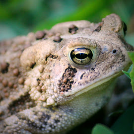 Eye of the Toad by Sue Delia - Animals Amphibians ( toad eyes, frog, toad,  )