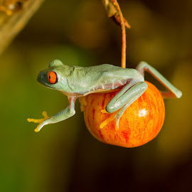 Trying  by Kutub Macro-man - Animals Amphibians ( nature, red eye tree frog, amphibians, close-up, animal )