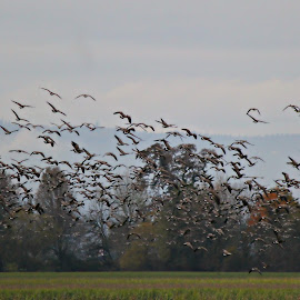 Geese in the Field  by Carol Langsford - Landscapes Prairies, Meadows & Fields