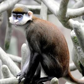 Guenon Monkey by Sylvia Smialkowska - Animals Other Mammals ( animals, monkey, guenon )