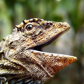 mad droco volans by Hendrata Yoga Surya - Instagram & Mobile Android ( cicak terbang, lizard, iguana, draco volan, hap hap )