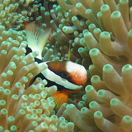 Clownfish at Home by Phil Bear - Animals Fish ( bali, coral, reef, indonesia, anenome, clownfish )