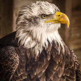 Glorious by Garry Chisholm - Animals Birds ( bird, garry chisholm, eagle, nature, wildlife, prey, raptor )