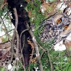 The Long-eared Owl