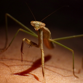 Mantis by Ibnu Hibban - Animals Insects & Spiders