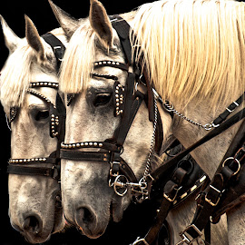 Teammates by Gary Hanson - Animals Horses ( teammates, bridle, horses, white, double )