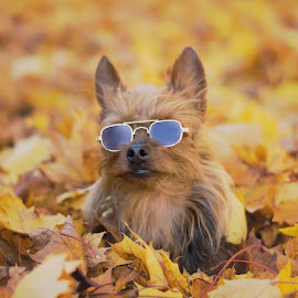 Enjoying Autumn in his Aviator's by Ali Platt - Animals - Dogs Portraits ( model, yorkie, yorkshire terrier, 2014, terrier, cute, sunglasses, aviators, yorkshire, autumn, fall, adorable, teacup )