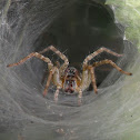 Grass Funnel Web Spider
