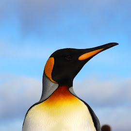 King Penguin by Janet Rose - Novices Only Wildlife