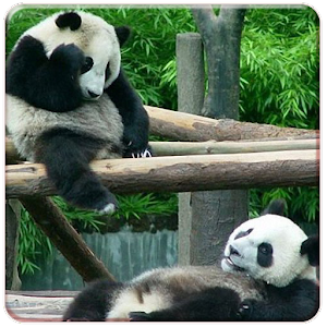 app panda live wallpapers apk for windows phone android