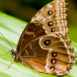 Buckeye by Kelly Goode - Animals Insects & Spiders ( animal, butterfy )