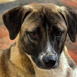 by Shrikrishna Bhat - Animals - Dogs Portraits (  )