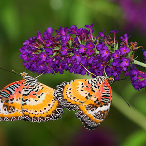 Lacewing Duo by Ruth Jolly - Animals Insects & Spiders ( butterfly, butterflies, nature, lacewing, insect, animal )