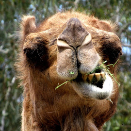 Chewing  by Deb Bulger - Animals Other Mammals ( animals, camel, zoo, close up )