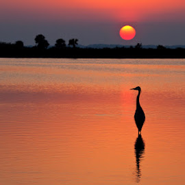 Sunset with Great Blue Heron by Richard Duerksen - Landscapes Sunsets & Sunrises ( great blue heron, silhouette, merritt island, florida, heron,  )
